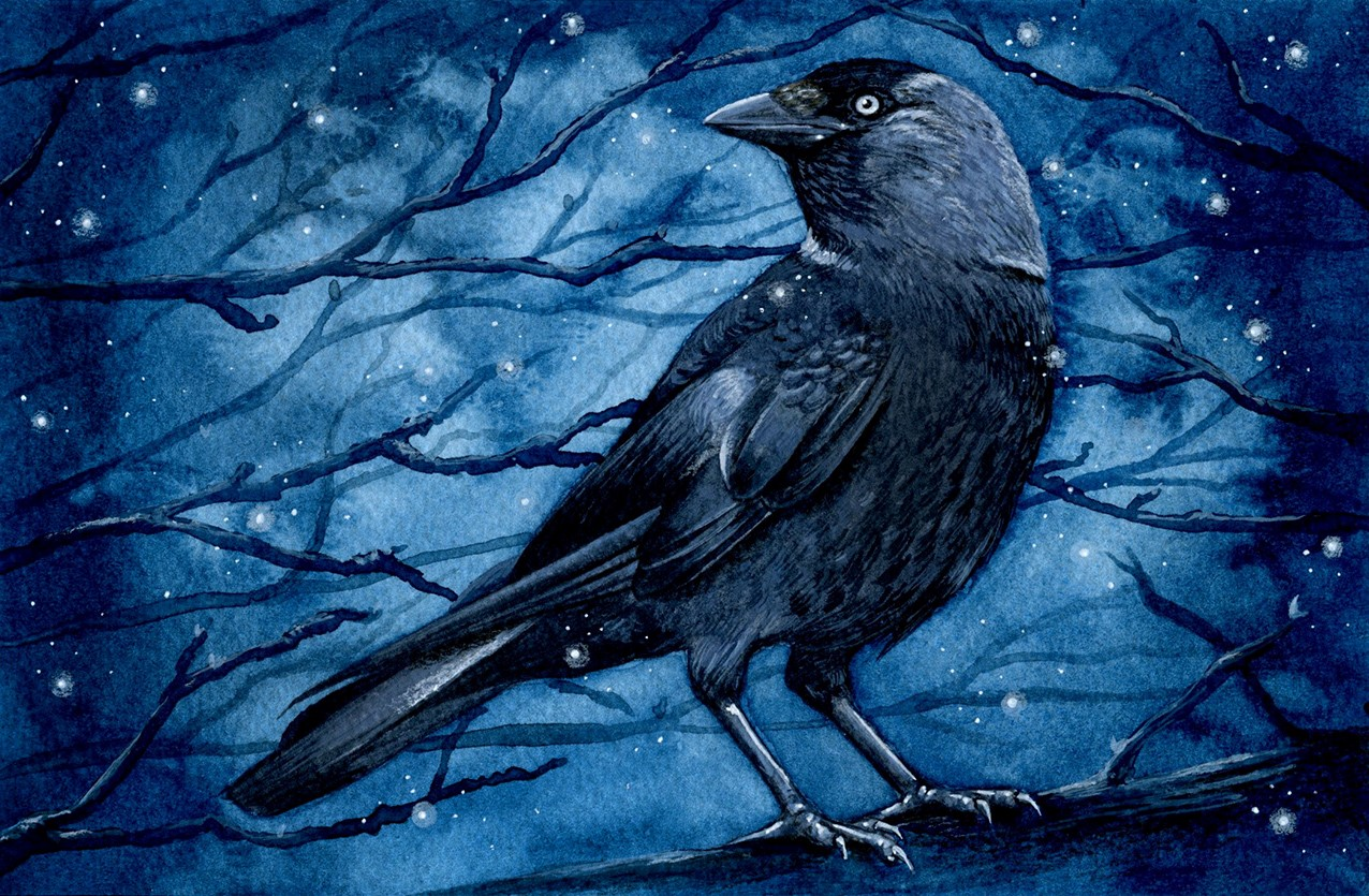 Jackdaw Illustration